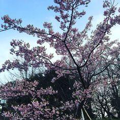 【atsugiseika】さんのInstagramをピンしています。 《#2月19日#日曜日 #今日は何の日?…#プロレスの日 #今日生まれの有名人は… #あべこうじ さん#山本高広 さん#薬丸裕英 さん  他… 今日の#誕生花 &花屋で買えるおすすめのお花は…🌸🌸🌸🌸🌸🌸🌸🌸🌸🌸🌸🌸🌸🌸🌸🌸🌸 #カラー …愛情 #プリムラ…運命を開く #お誕生日おめでとうございます🌹🎉🎂🎁💐✨✨✨✨✨✨✨✨✨✨✨✨✨✨✨ * 素敵な日曜日をお過ごし下さい✨😌 picは…#河津桜。昨日公園で見かけました。 季節の移り変わりを感じますね。 * #桜#花#🌸#厚木生花#厚木市#厚木市の花屋#アミューあつぎ隣#花屋#flower#flowers 🌟お知らせ🌟 2月27日プチリニューアルオープン❣️ の為、ご来店にてお持ち帰りに限り、 プリザーブドフラワー商品20%off(一部除外有り) ドライフラワー商品50%off ************************* ☆厚木生花のホームページ…