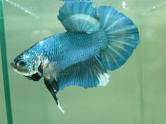*Imported* Live GIANT Betta Fish Blue Marble Dragon Scale Halfmoon Plakat #TheBettaFactory
