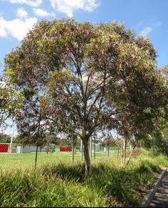 Eucalyptus leucoxylon 'Euky Dwarf'