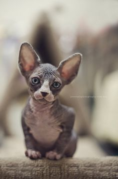 Hairless cat's weird Adam out but I so want one :)