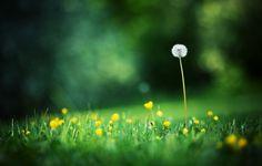 Фото обои цветы, макро, фон, одуванчик, обои, поляна, размытость, боке, лето, фото, трава