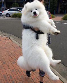 Samoyeds are the biggest floofs!