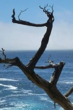 Pescadero Point: Trees with a mysterious past