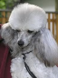 silver poodles - Google Search