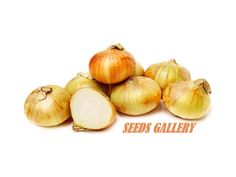 """1,70 €Onion Seeds Dutch Yellow Price for Package of about100 seeds. High flavored onion for cooking. Hardy bulbs easy to grow. Plant 6"""" apart, 2"""" below surface Harvest when tops die off. Crop can be stored in cool dry place, or diced and frozen. Perennial zones 3-9. Full sun"""