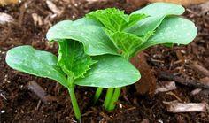 Осенью подготавливаем почву: после уборки урожая грядки обрабатываем, оп-рыскивая их раствором медного купороса (1 ст. л. на 10 л воды), расход - 1 л на 1 кв. м грядки. Перед перекопкой на 1 кв. м …