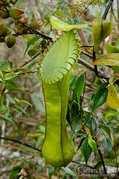 Nepenthes hamata. With its fearsome clawed peristome,...