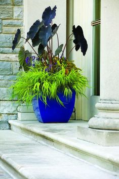 chartreuse Hakone grass (Hakonechloa macra 'All Gold'), Rustic Orange™ coleus, Arcelia 'Purple' angelonia and eggplant-colored elephant's-ear (Colocasia esculenta 'Black Magic'). Striking! I have 2 of these cobalt pots. This year I planted bush basil...this is a much better choice