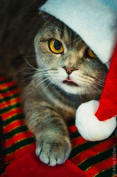 This cute cat in a santa hat is waiting for Christmas. He wants a turkey dinner. ♥