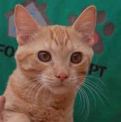 Andy relishes being held and cuddled.  He purrs non-stop in your hands.  Andy is an orange tabby kitten, 4 months of age, good with other cats, now neutered and ready for adoption at Nevada SPCA (www.nevadaspca.org).  He has remarkable copper & red gold eyes.