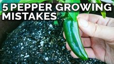 5 Pepper Growing Mistakes to Avoid Growing Green Peppers, Growing Greens, Growing Vegetables, Fruits And Vegetables, Pepper Plants, Garden Seeds, Seed Starting, Lawn Care, Stuffed Green Peppers