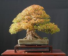 Image detail for -HOLLOW CREEK BONSAI - Trident Maple Bonsai