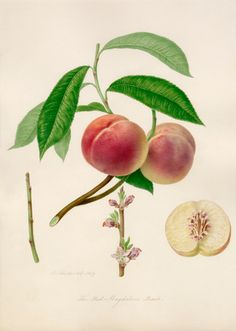 Watercolour by William Hooker of the peach variety Red Magdalene. This is taken from one of ten volumes known as Hooker's Fruits which were commissioned by the RHS to help reform the nomenclature of cultivated fruit. Creator: Hooker, William (1779-1832) (Artist). Date: 1819.