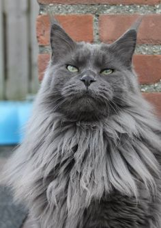 Maine Coon, Blue Smoke (as). Jotilie's True Love Eros