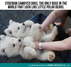 Polar Bear Dogs - FunSubstance.com
