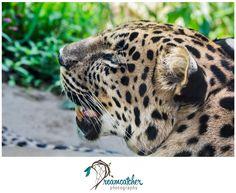 Pittsburgh Zoo - Leopard www.nicdreamcatcher.com ©Nicole Iagnemma