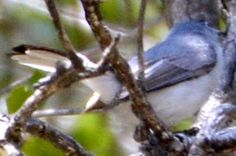 Blue-gray Gnatcatcher - First ID'd 04/19/2015 in Poway, CA