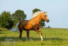 Wielkopolski stallion Ontario