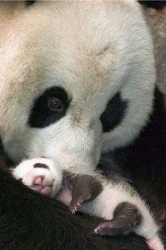 Panda & Cub by nburchi31