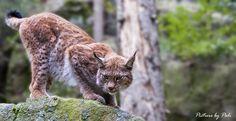Lynx10 by *PictureByPali on deviantART