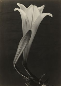 Tina Modotti - Easter Lily and Bud c.1925