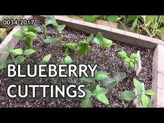 Blueberry Bush Care, Blueberry Plant, Blueberry Farm, Blueberry Bushes, Cherry Fruit Tree, Fruit Trees, Fruit Garden, Garden Plants, Growing Blueberries
