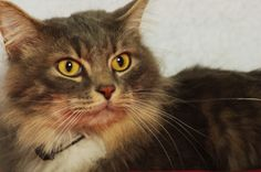 Thomas is an adoptable Domestic Long Hair - Gray And White Cat in Indianapolis, IN. Poor Thomas. He lost his home when his former family could no longer afford to care for him. He is such a handsome b...