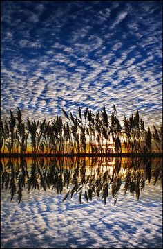 Reeds on the Darenth