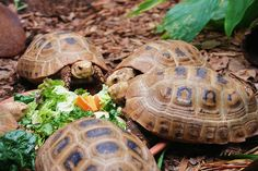 Elongated Tortoises enjoying a bowl of salad ...   The elongated tortoise is Endangered (IUCN Red List) and protected  by Vietnamese law under Decree 32, but continues to be  illegally harvested and sold in Asian food markets. The international  pet trade and habitat destruction pose serious threats too.  ... photographed at Adelaide Zoological Gardens, South Australia