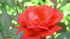 Flower Fauna and Flora are two terms frequently heard by those that spend time in nature. Beautiful Flowers Wallpapers, Beautiful Rose Flowers, Love Rose, Exotic Flowers, Rose Flower Wallpaper, Flowers Gif, Diwali Pictures, Good Morning Flowers, Colorful Roses