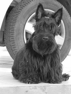 A vida de um Scottish Terrier: Camiseta personalizada do meu neguinho by Aline Gobbi