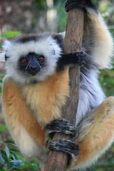 A beautiful diademed sifaka lemur at the Vakona Lodge Reserve, Madagascar Beautiful Creatures, Animals Beautiful, Cute Animals, Animal 2, Mundo Animal, Los Primates, Pays Francophone, Slow Loris, Baboon