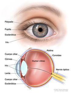 Anatomía del ojo; el dibujo de dos paneles muestra la parte interior y exterior del ojo.  El panel de arriba muestra el exterior del ojo con  el párpado, la pupila, la esclerótica y el iris; el panel de abajo muestra el interior del ojo con la córnea, la lente, el cuerpo ciliar, la retina, la coroides, el nervio óptico y el humor vítreo.