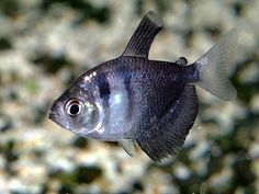 Want to learn more about Black Skirt Tetra? Check out the Black Skirt Tetra Wiki and if they are right for your aquarium. Black Skirt Tetra for sale Tropical Aquarium, Tropical Fish, Neon Tetra Fish, Fishing For Beginners, Salt Water Fish, Freshwater Aquarium Fish, Pet Fish, Planted Aquarium, Sea Birds