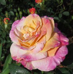 Abracadabra Rose