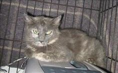 13-08-3020 F is an adoptable Domestic Long Hair Cat in Dallas, GA.  Primary Color: Grey Secondary Color: Tortoiseshell Age: 0yrs 0mths 0wks...