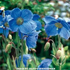 LINGHOLM HYBRID  Meconopsis Poppy Seeds  Meconopsis Lingholm (aka M. x sheldonii)  These flowers result from a cross of the Blue Himalayan poppy (M. betonicifolia) and the Blue Tibetan poppy (M. grandis). They are magnificent plants with large, intense blue flowers. Longer lived and somewhat easier to grow than either of its parents. Needs moist, cool growing conditions and acid soil. Seeds may require chilling, instructions included.