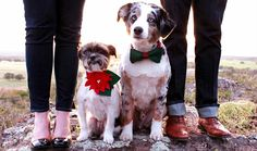 holiday photo with pets || christmas card photo with dogs || #pets | #pups | #dogs