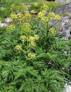 Molopospermum peloponnesiacum - Buy Unusual Plants to plant Direct from PlantsToPlant