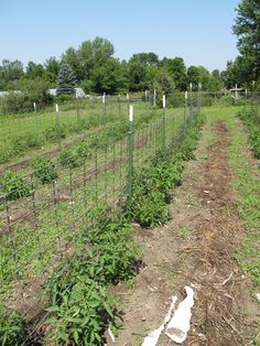 best homemade tomato cages   Trellis system for heirloom tomatoes - outside setup