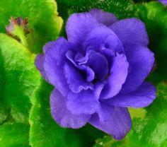 Flower of Moonlight Kisses African Violet