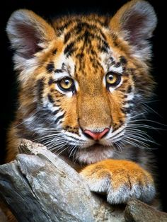 *Tiger Cub...sweet face...