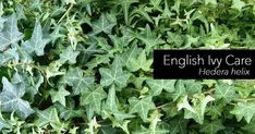 The English Ivy, care as a houseplant is not difficult for those just starting out or seasoned indoor plant veterans. English ivy (Hedera helix) is probably one of the most durable of all houseplants, but care must be taken with watering. Like many ivies, English Ivy Indoor, English Ivy Plant, Ivy Plant Indoor, Ivy Look, Hedera Helix, Cat Plants, Low Light Plants, Poisonous Plants, Bathroom Plants