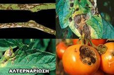 Αναγνωρίστε τις Ασθένειες της Ντομάτας και Αντιμετωπίστε τες με Βιολογικό Τρόπο! - share24.gr Stuffed Peppers, Vegetables, Fruit, Gardening, Stuffed Pepper, Lawn And Garden, Vegetable Recipes, Stuffed Sweet Peppers, Veggies