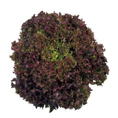 Soltero is a great looking lollo rossa type with a good red color. Suitable for indoor and outdoor production. Resistant to Bremia BL Lettuce Seeds, Seed Packaging, Seed Packets, Rosettes, Herbs, Leaves, Greenhouses, Compact, Plants