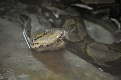 ZOOTOGRAFIANDO (MI COLECCIÓN DE FOTOS DE ANIMALES): PITÓN RETICULADA (Python reticulatus)