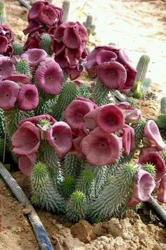 Never seen such amazing flowers growing out of Cactuses. ..Wow !!