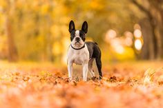 Lovely Boston Terrier - https://www.facebook.com/ceciliazuccheratophotography/