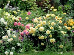 'Crocus Rose', 'Jubilee Celebration', 'Teasing Georgia' & 'The Pilgrim' roses