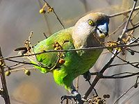 Brown-headed Parrot (Poicephalus cryptoxanthus) by Arno_Louise. Nature Reserve, Bird Species, Bird Watching, Parrot, South Africa, Birds, Brown, Animals, Families